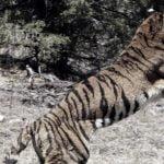 बाघको आक्रमणबाट मृत्यु